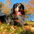 A happy Bernese mountain dog outdoors — Stock Photo #5201233