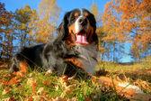 A happy Bernese mountain dog outdoors — Stock Photo