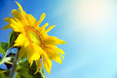 Sunflower in flowerpot — Stock Photo