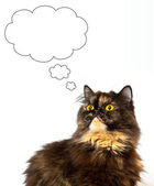 Grant persian tortie cat on the white background — Stock Photo