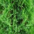Cedar bush — Stock Photo #4045906