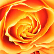 Orange rose closeup — Stock Photo