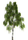 Birch tree isolated on white background — Stock Photo