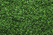 Green box hedge background with green leaves — Stock Photo