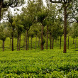 Tea Plantation — Stock Photo #4656409