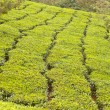Tea Plantation — Stock Photo #4656411