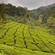 Tea Plantation — Stock Photo #4656413