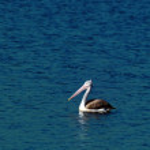 Постер, плакат: Spot Billed Pelican