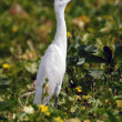 Egret — Stock Photo #4687859