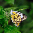 Two beautiful yellow butterflies mating at a local garden — Stock Photo #4688398