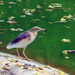 Indian Pond Heron - Stok fotoğraf