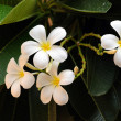 Frangipani — Stock Photo #4688570
