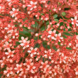 Clerodendrum paniculatum - Stock Photo