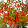 Gulmohar — Stock Photo
