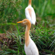 Egrets - Stock Photo