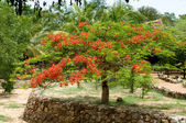 Beautiful gulmohar flower on a bright sunny day — Stock Photo