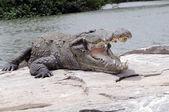 Crocodilo — Foto Stock