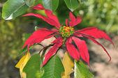 Close up picture of a beautiful pointsettia flower in Peru — Stock Photo