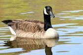 Canadian Goose — Стоковое фото