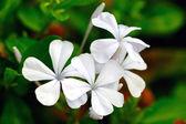 White Periwinkle — Stock Photo