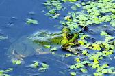 Sapo verde — Foto Stock