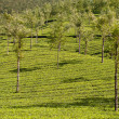 Tea Plantation — Stock Photo #4699766