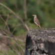 Paddy Field Pipit — Stock Photo