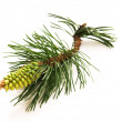 Pine branch isolated on the white background — Stock Photo