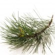 Pine branch isolated on the white background — Stock Photo #4646977