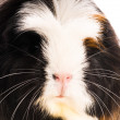 Stock Photo: Guinepig isolated on white background. coronet