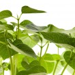 Stock Photo: Growing plants. beans