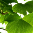 Ginkgo biloba green leaf isolated on white background - Foto Stock