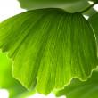 Ginkgo biloba green leaf isolated on white background - Stock Photo