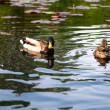 Ducks in water of lake — Stock Photo