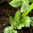 Growing potato. baby plant in soil — Stock Photo