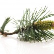 Pine branch isolated on the white background — Stock Photo #4648259