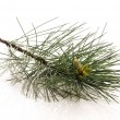 Pine branch isolated on the white background — ストック写真