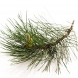 Stock Photo: Pine branch isolated on the white background