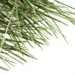 Pine branch isolated on the white background — Стоковая фотография