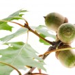 Oak Branch with Acorns isolated on white — Stock Photo #4648467