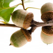 Oak Branch with Acorns isolated on white — Stock Photo