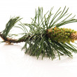 Pine branch isolated on the white background — Stock Photo #4648673