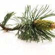 Pine branch isolated on the white background — Stock fotografie