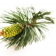 Royalty-Free Stock Photo: Pine branch isolated on the white background