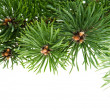 Pine branch isolated on the white background — Stock Photo #4649138