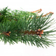 Pine branch isolated on the white background — Foto Stock