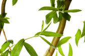 Ramo di un albero con foglie isolate su bianco — Foto Stock