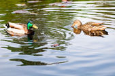 Ducks in water of lake — Stockfoto