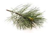 Pine branch isolated on the white background — Zdjęcie stockowe