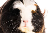 Guinea pig isolated on the white background. coronet — Stock Photo
